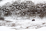 Bison in snow in Wyoming Photographic Print by Neil Hostnick