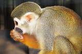 Primate monkey in Florida Zoo Photographic Print by Elizabeth Agne