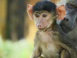 Primates baby monkey with mother in Kenya Photographic Print by Genevieve Watson