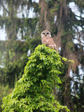 Barred Owl on tree in Pennsylvania Photographic Print by Patricia Marshall