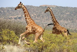 Giraffes running in Kenya Photographic Print by Marian Herz