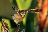 Burrowing Owl flying in Florida Photographic Print by Lauri Griffin