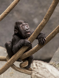 Primate baby Gorilla in Illinois Zoo Photographic Print by Tim Denny