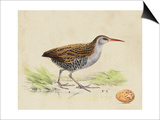 Meyer Shorebirds III Poster by H. l. Meyer