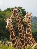 Giraffes in safari park in California Fotografisk trykk av Joanne Panizzera