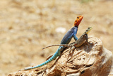 Reptile pair of Lizards in Kenya Photographic Print by Maria Herz