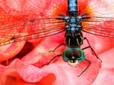 Dragonfly on red flower in Alabama Photographic Print by Beth Tattersall