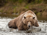 Brown Bear fishing in Alaska Photographic Print by Kandace Heimerr