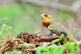 Reptile Chameleon in India Photographic Print by Praveen Scindhya