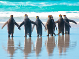 King Penguin group walking to water in Falkland Islands Photographic Print by Marguerita Melville