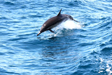 Dolphin jumping in California Photographic Print by Megan Kirkpatrick