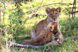 Wild cat lion cubs in Kenya Photographic Print by Marian Herz