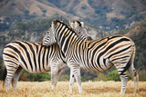 Zebra pair in South Africa Photographic Print by Lisa Kimball
