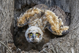 Great Horned Owl nest in Pennsylvania Photographic Print by Kurt Wecker