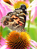 Butterfly on flower in New Hampshire Photographic Print by Lauren Hull