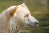 Spirit Bear profile in Canada Photographic Print by Lisa Lazarus