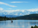 Moose swimming in Alaska Photographic Print by Courtney Kaufman