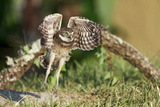Burrowing Owl wings in Florida Photographic Print by Chris MacDonald