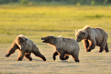 Brown Bears chasing in Alaska Photographic Print by John Rollins
