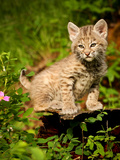 Wild cat Bobcat kitten in Montana Photographic Print by Susan Locke