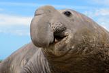Elephant Seal in Argentina Reprodukcja zdjęcia autor John Rollins
