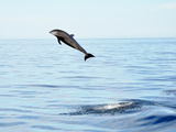 Dolphin jumping in Mexico Photographic Print by Jonathan Lavan