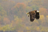 Bald Eagle fishing in Fall in Maryland Photographic Print by Joseph Giitter