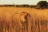 Wild cat male Lion in Zimbabwe Fotografisk tryk af Torie Hilley