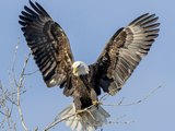 Bald Eagle wings in Wisconsin Reproduction photographique par Tim Denny