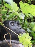 Primate Gorilla in Uganda Fotografisk tryk af Laura Lorman