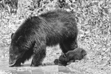 Black Bear cub with mother in Smoky Mountain Park Photographic Print by Joseph Giitter