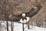 Bald Eagle flying in Winter in Michigan Fotografisk tryk af Teresa McGill