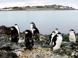 Chinstrap Penguin group in Mexico Photographic Print by Karen Cortese