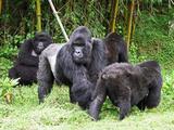 Primates Gorila family in Rwanda Fotografisk tryk af John Hobbs