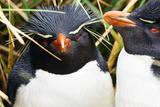 Southern Rockhopper Penguins in Falkland Islands Photographic Print by John Rollins
