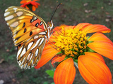 Fritillary butterfly on flower in Alabama Photographic Print by Michelle Miklik