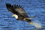 Bald Eagle fishing in Alaska Photographic Print by Kevin McCarthy