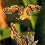 Burrowing Owl landing on tree in Florida Reprodukcja zdjęcia autor Lauri Griffin