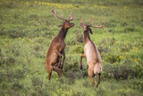 Two Elk fighting in Colorado Photographic Print by Grady McGinnis