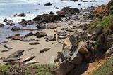 Group of Seals on beach in California Reprodukcja zdjęcia autor Denis A = Elliott