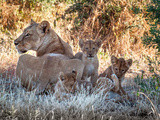 Wild cats lioness and cubs resting in Botswana Photographic Print by Christine M Becker