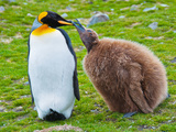 King Penguin pair in Falkland Islands Photographic Print by Marguerita Melville