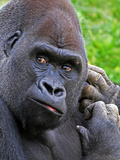 Primate Gorilla in Pennsylvania Zoo Photographic Print by Amy L. Golden