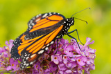 Monarch butterfly in Indiana Photographic Print by Mark Brinegar