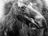 Don Ellis - Black and white Moose in Colorado Fotografická reprodukce