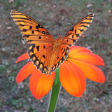 Fritillary butterfly wings in Alabama Photographic Print by Michelle Miklik