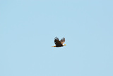 Bald Eagle flying in North Carolina Photographic Print by Trey Knight