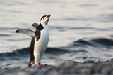 Chinstrap Penguin in Antarctica Photographic Print by Marian Herz
