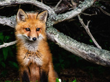 Red Fox in Maine Fotoprint van Janine Edmondson