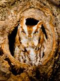 Screech Owl nest in Michigan Reprodukcja zdjęcia autor Kevin Vande Vusse